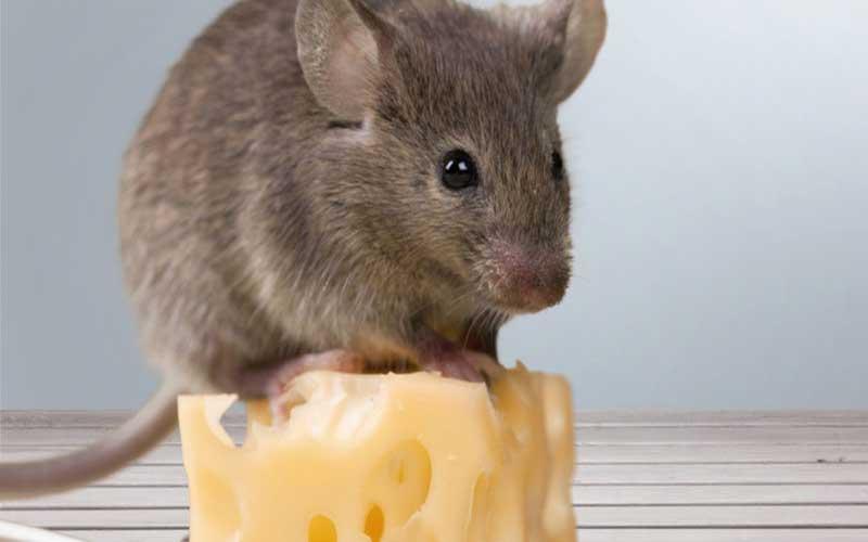 سمپاشی موش خانگی