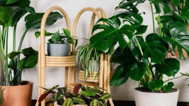 علت خشک شدن گیاهان آپارتمانی چیست؟